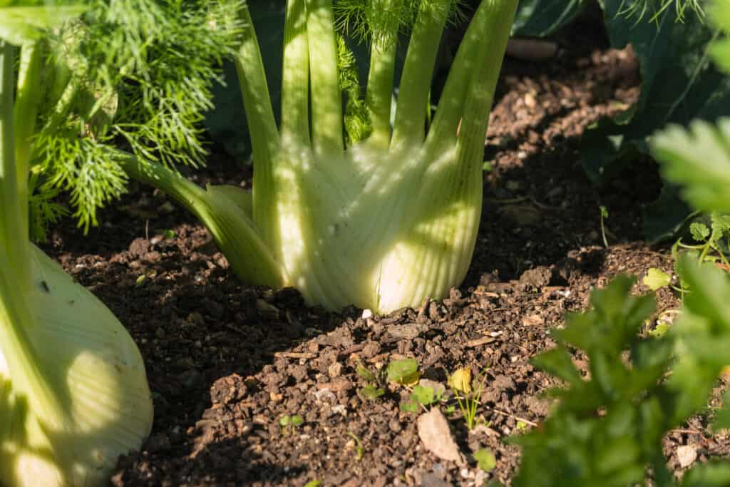 Florence fennel at harvest