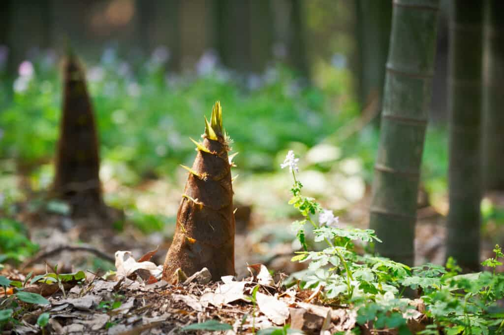 Bamboo shoot emerging from soil