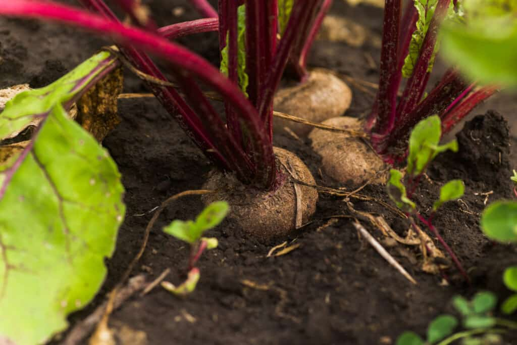 Beets harvest late spring through autumn