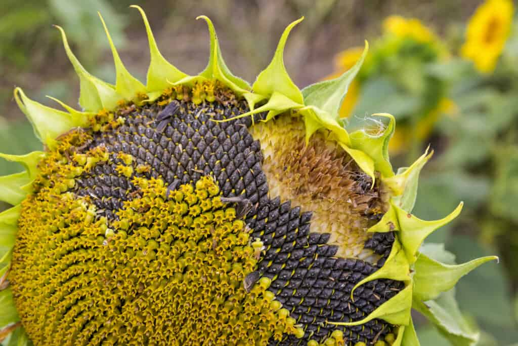 Sunflower near seed harvest