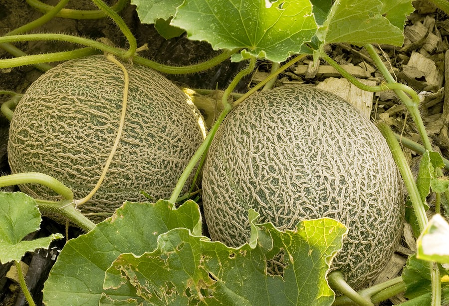 Muskmelons near harvest