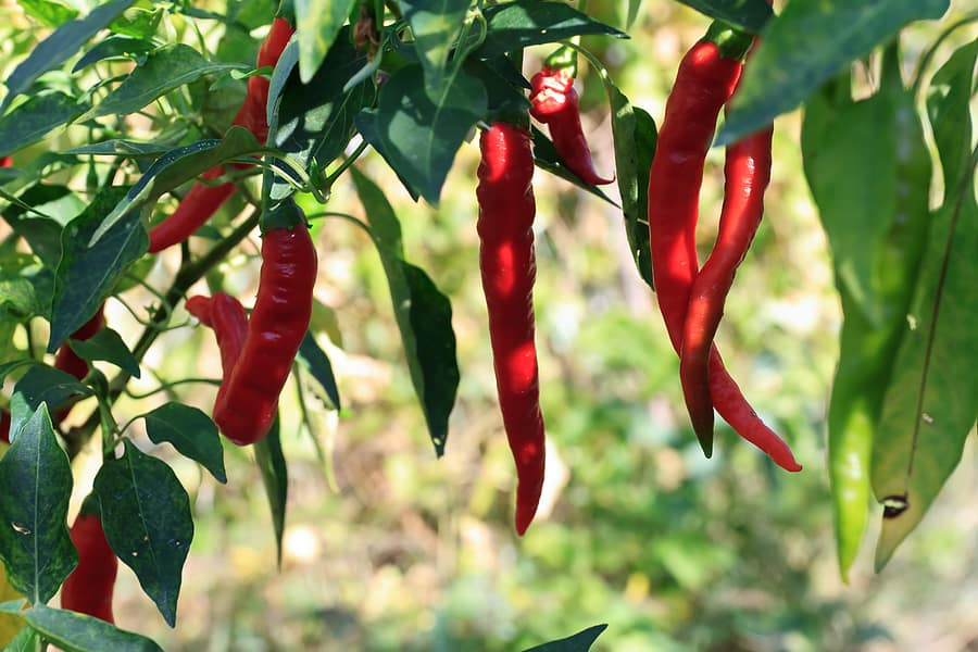 Red chiles near harvest