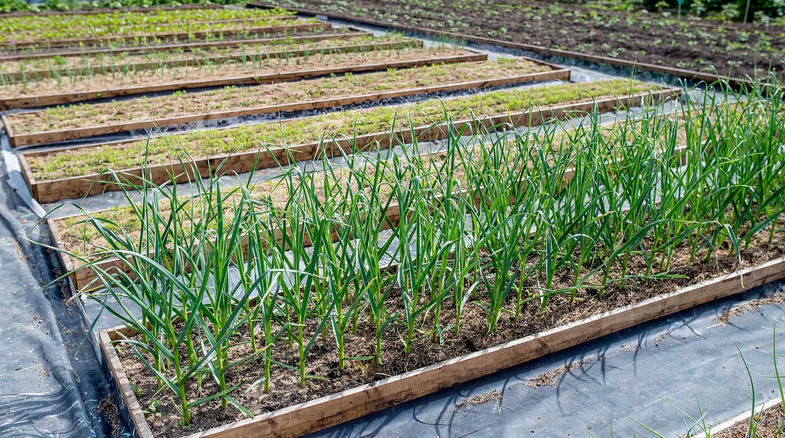 Shallots and greens in the winter garden