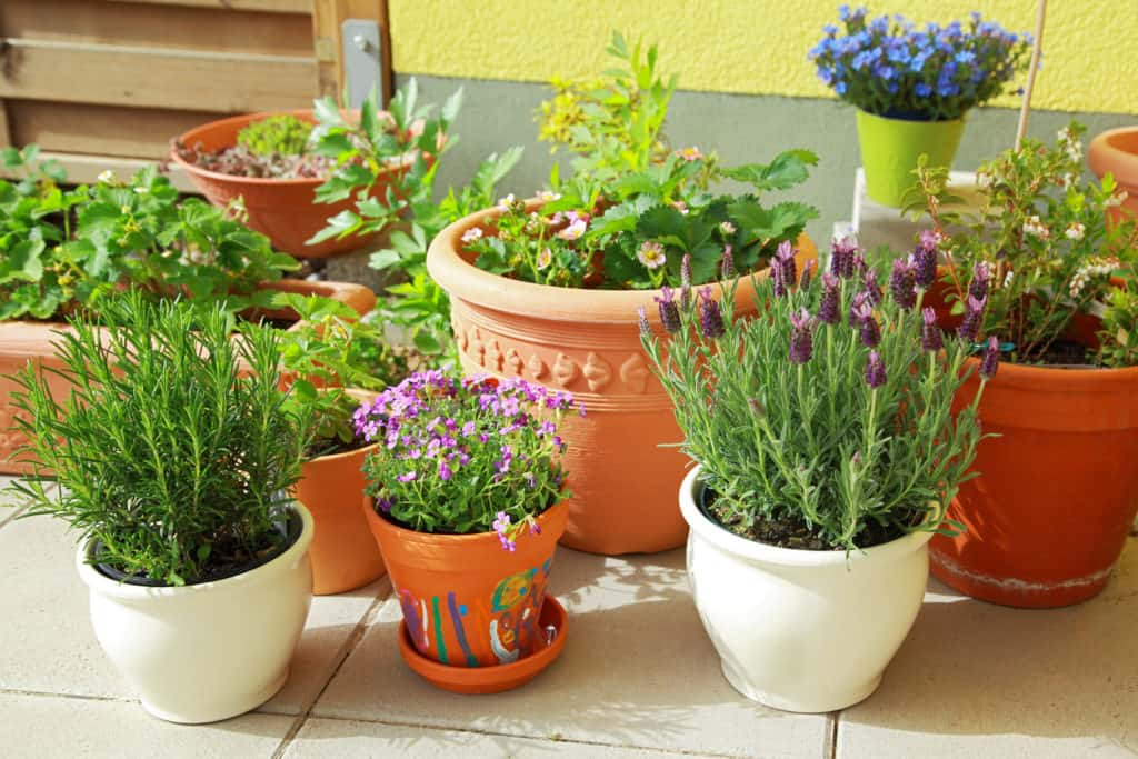 Herbs for cooking in pots
