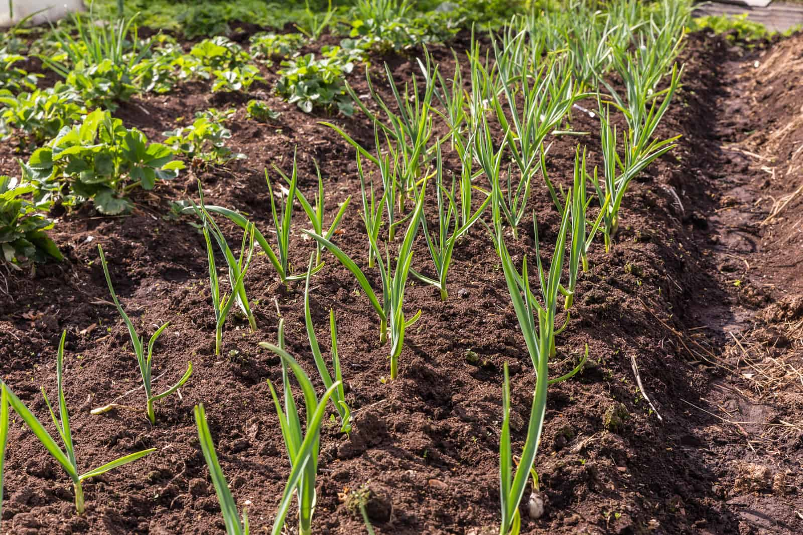 Garlic in planting beds