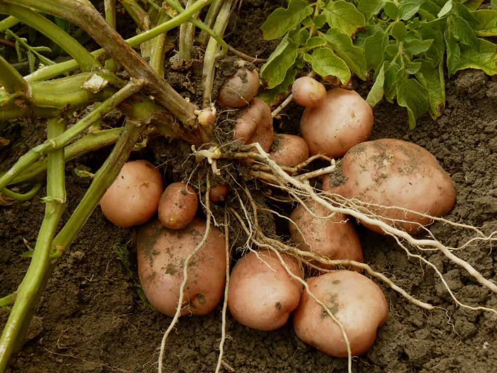 How To Plant Grow And Harvest Potatoes