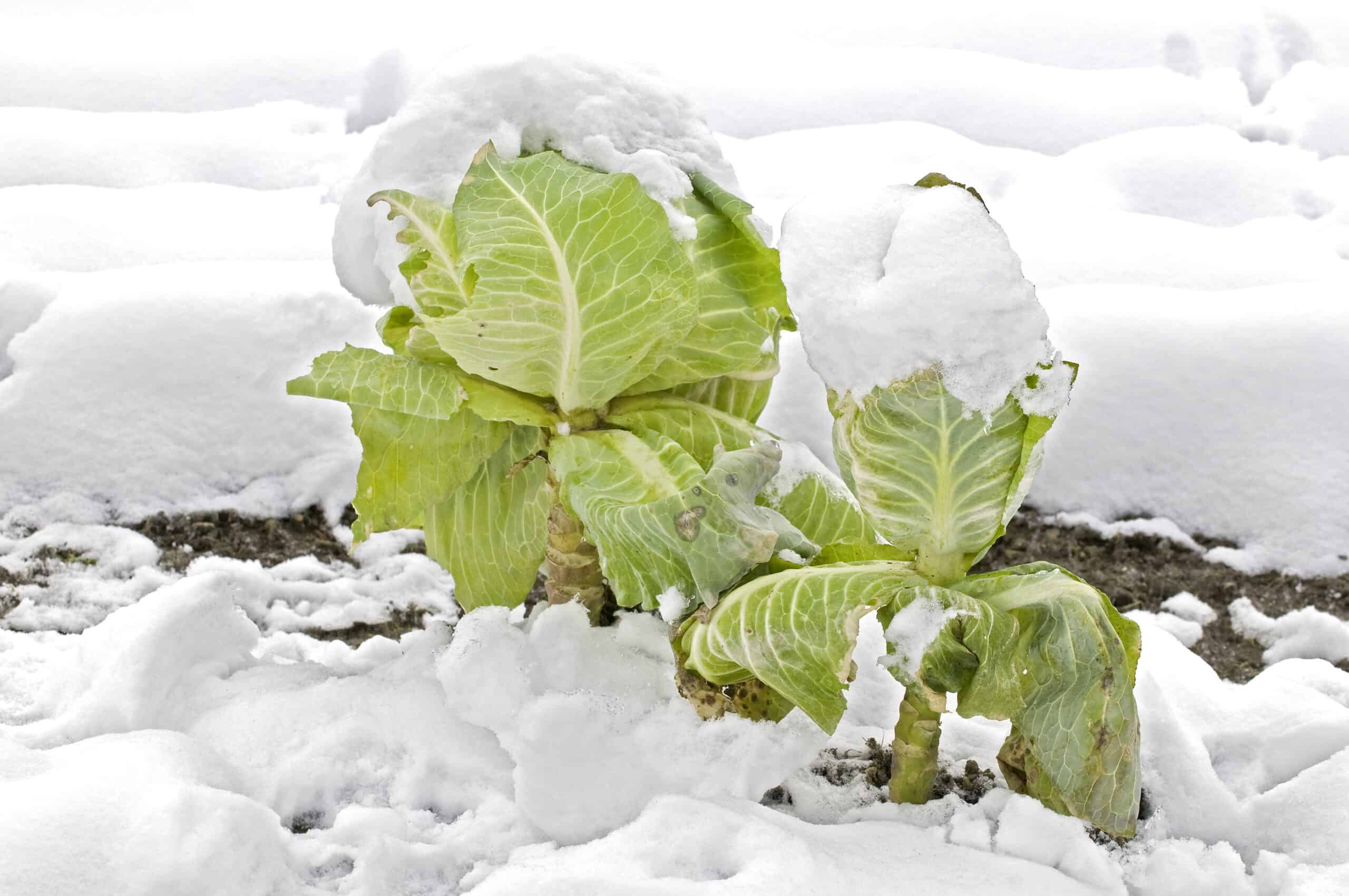 Cabbage in winter