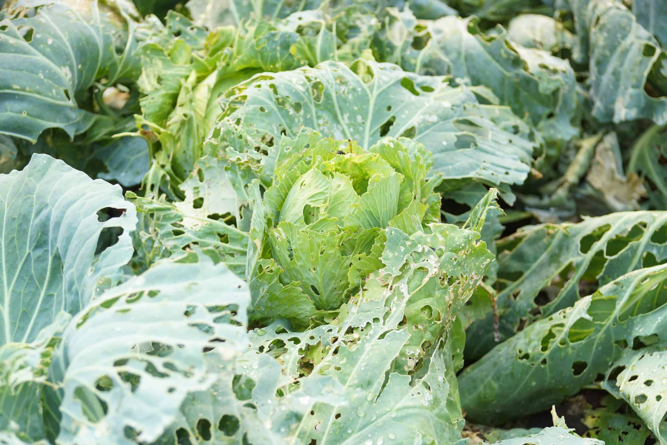 Cabbage must be protected from pest insect