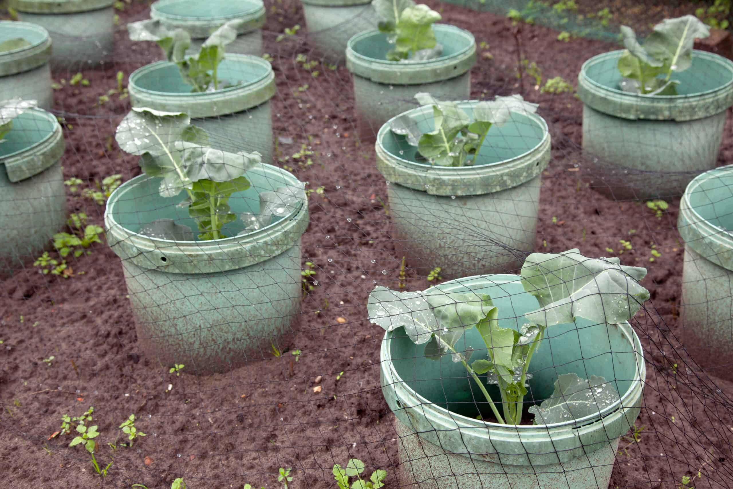 Cabbage planting in spring