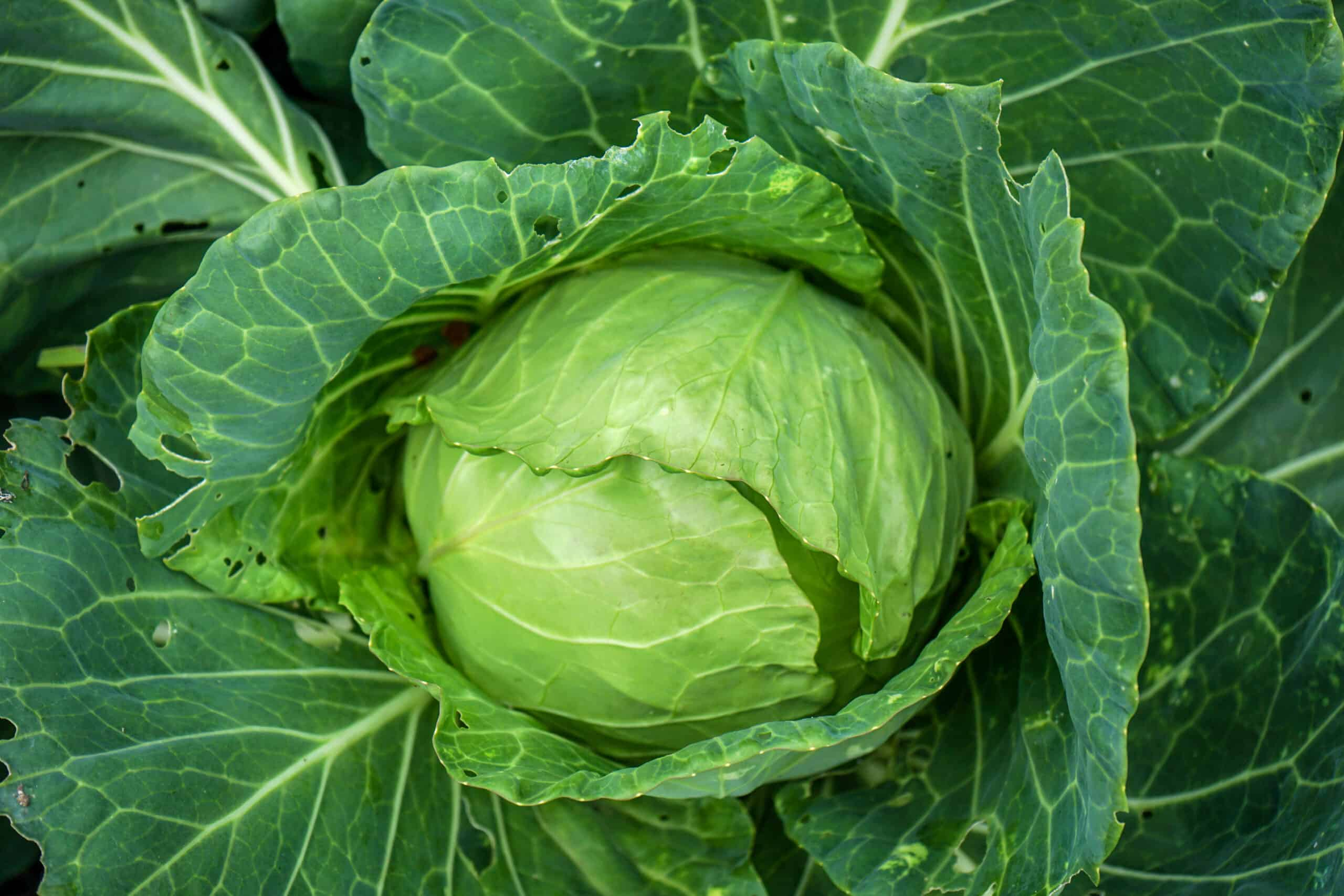 How to Grow Cabbage In Easy Steps