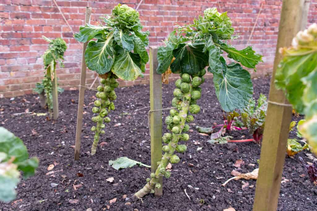 Brussels sprouts staked