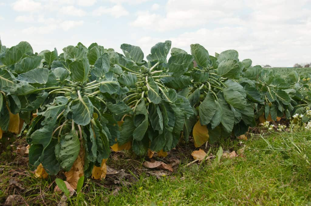 Brussels sprout in growing field