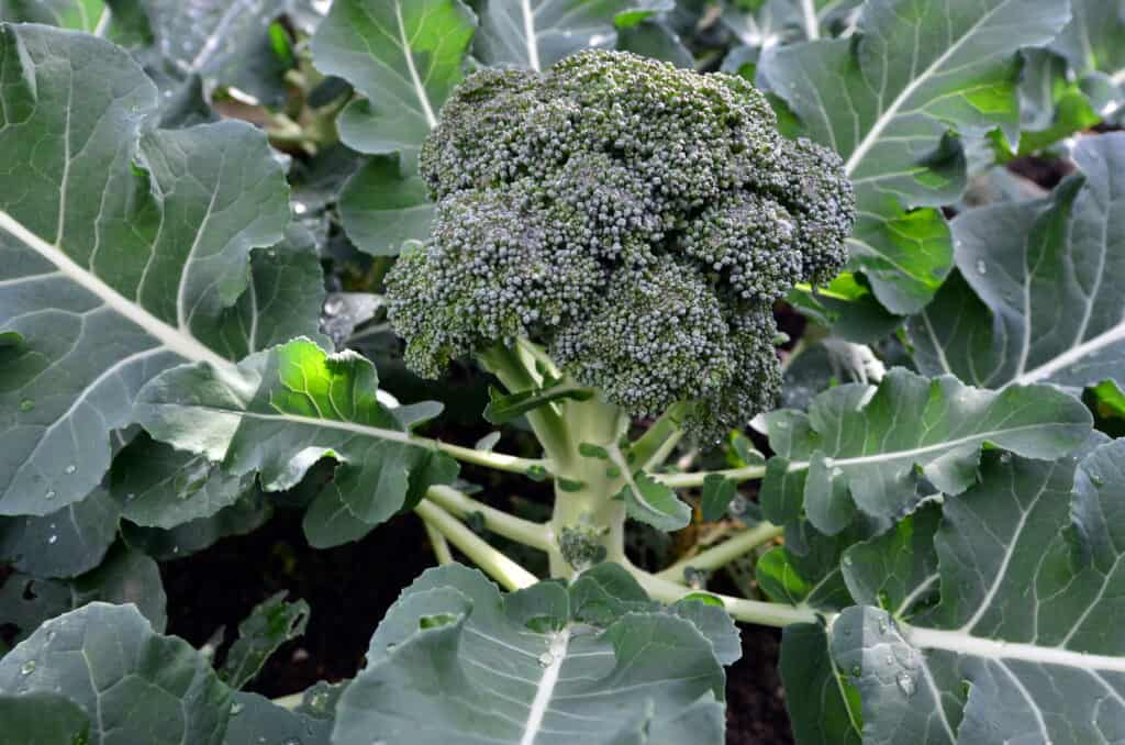 Broccoli near harvest