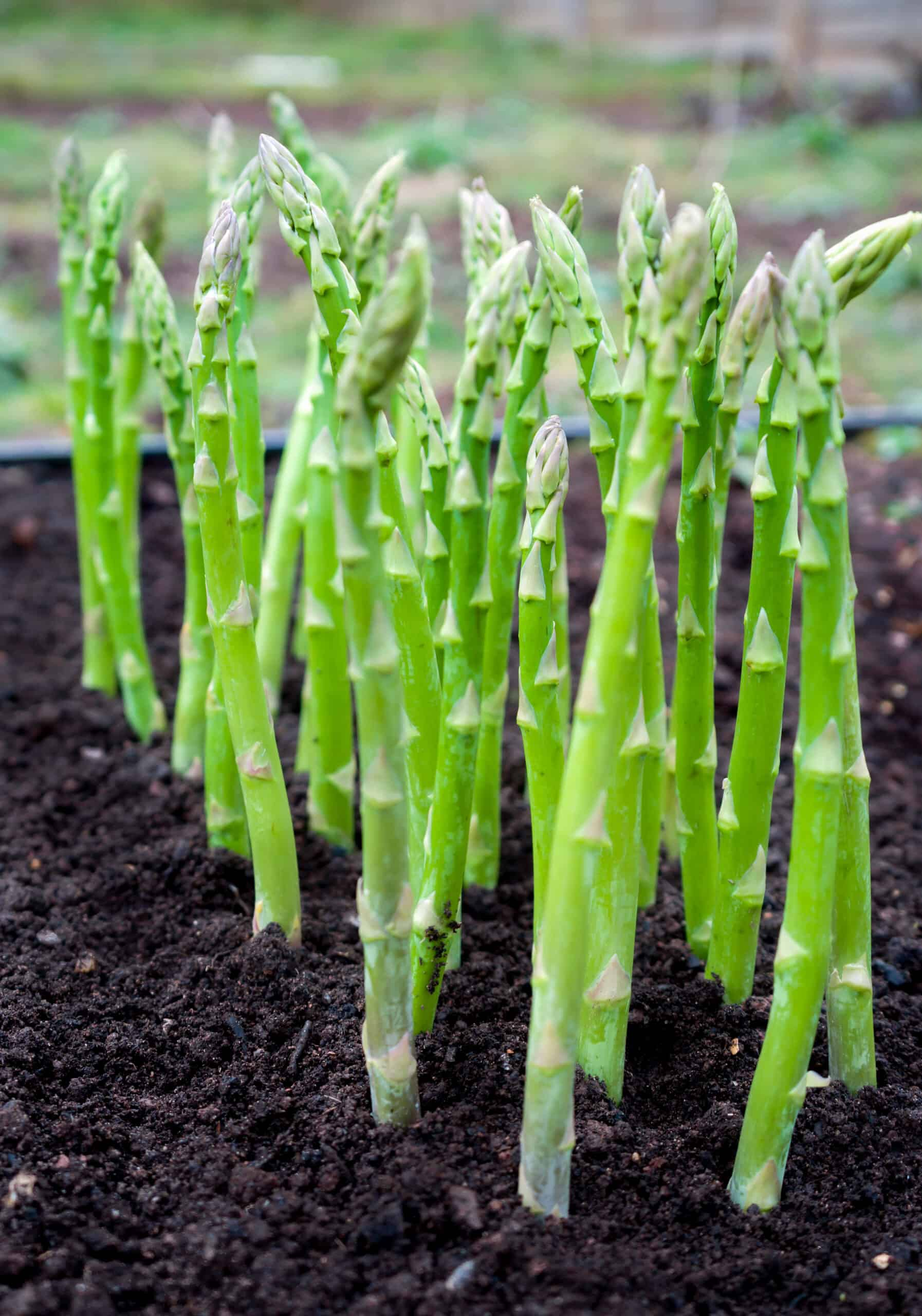 How To Plant Grow And Harvest Asparagus