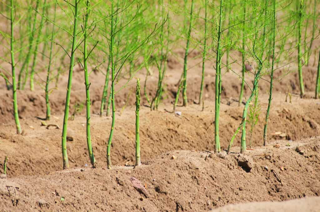Asparagus growing bed