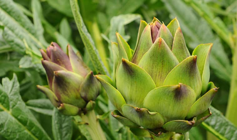 How to Grow Artichokess