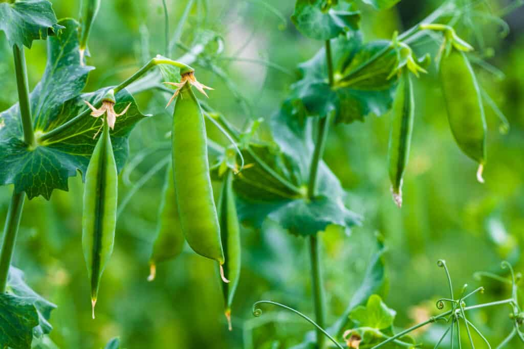 How To Plant And Grow Peas