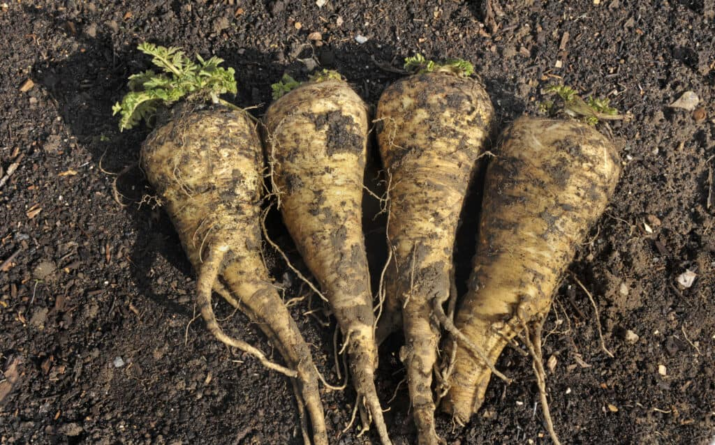 Parsnip roots harvested