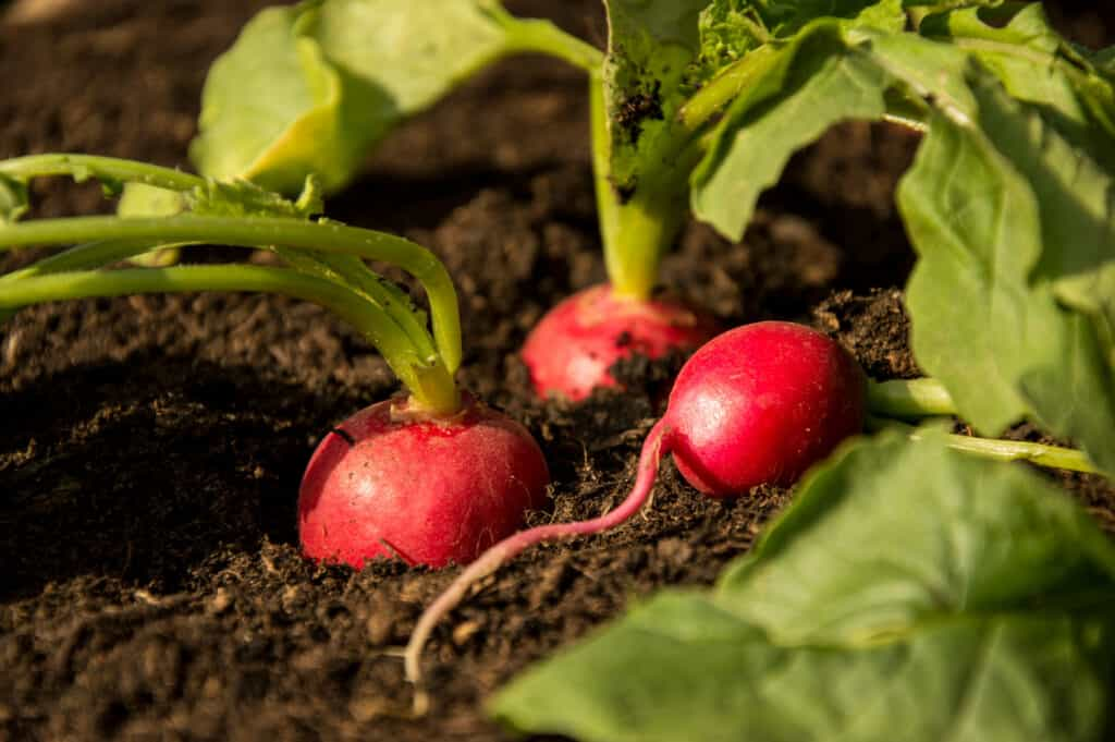 Red radishes grow in garden