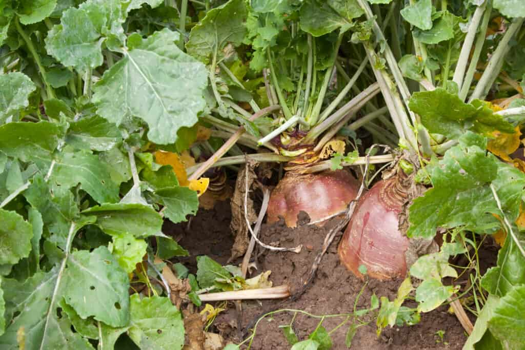 Turnip plants with red roots