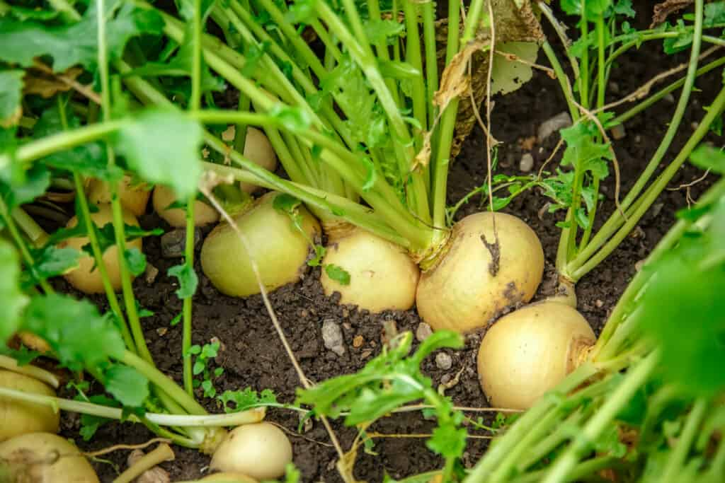 growing turnips in garden