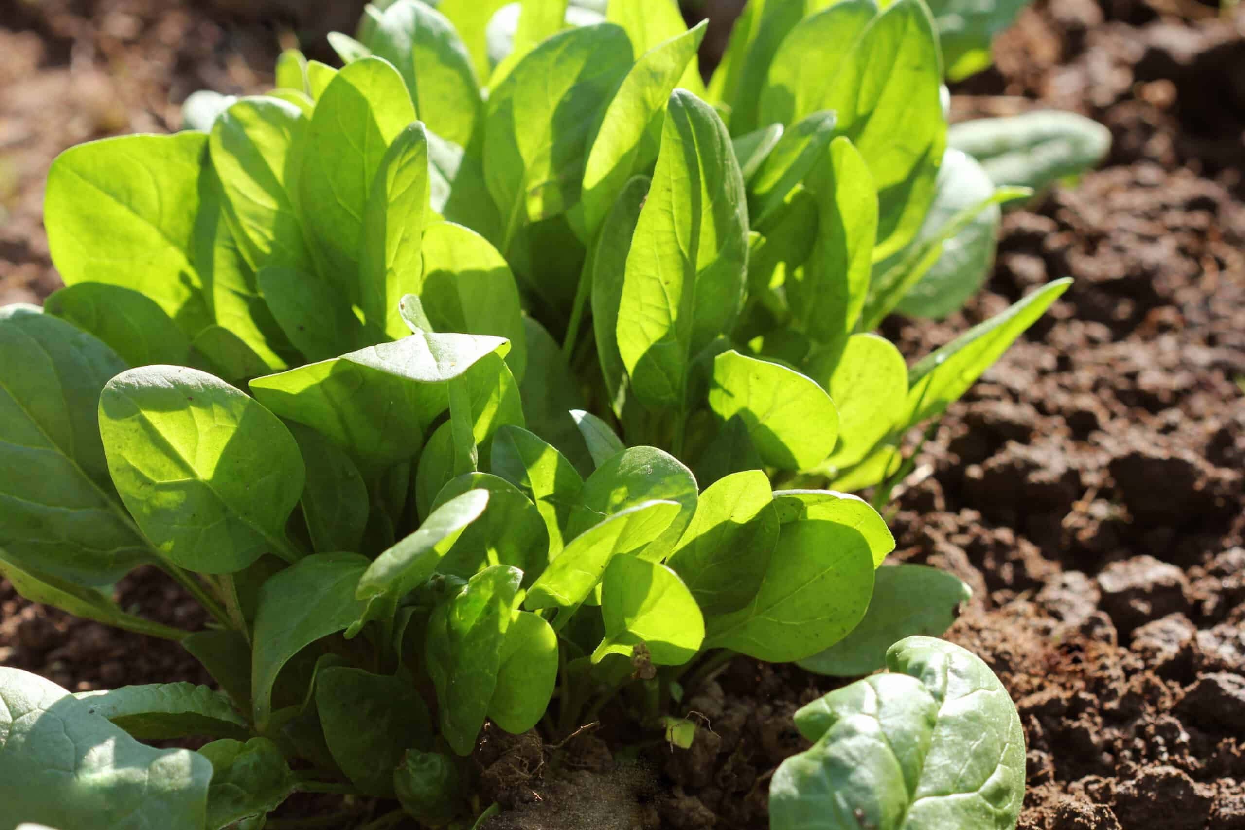 Space spinach plants for even growth