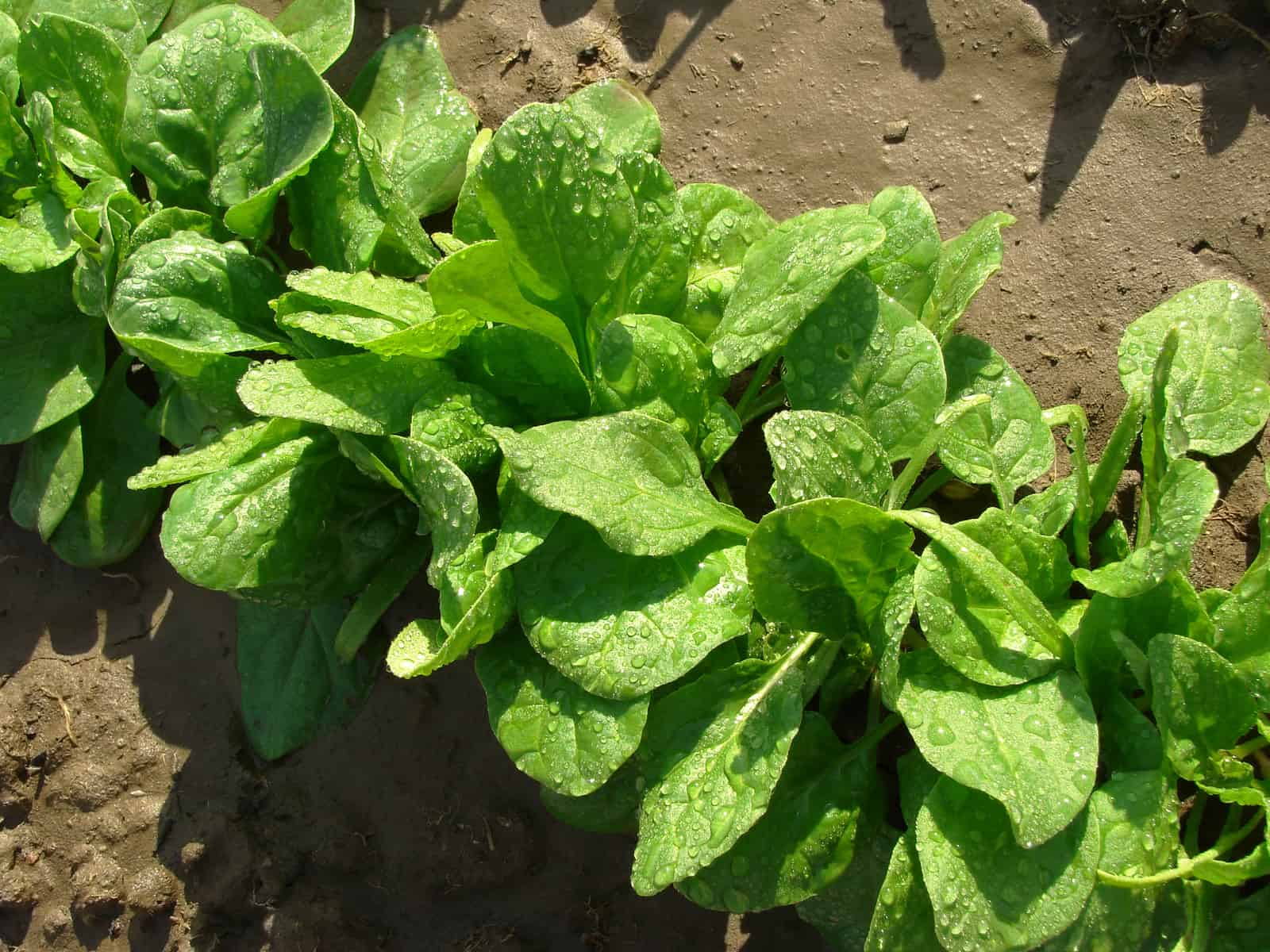 Mature spinach plants