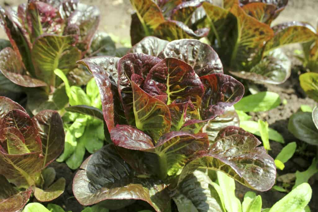 Lettuce matures in cool weather