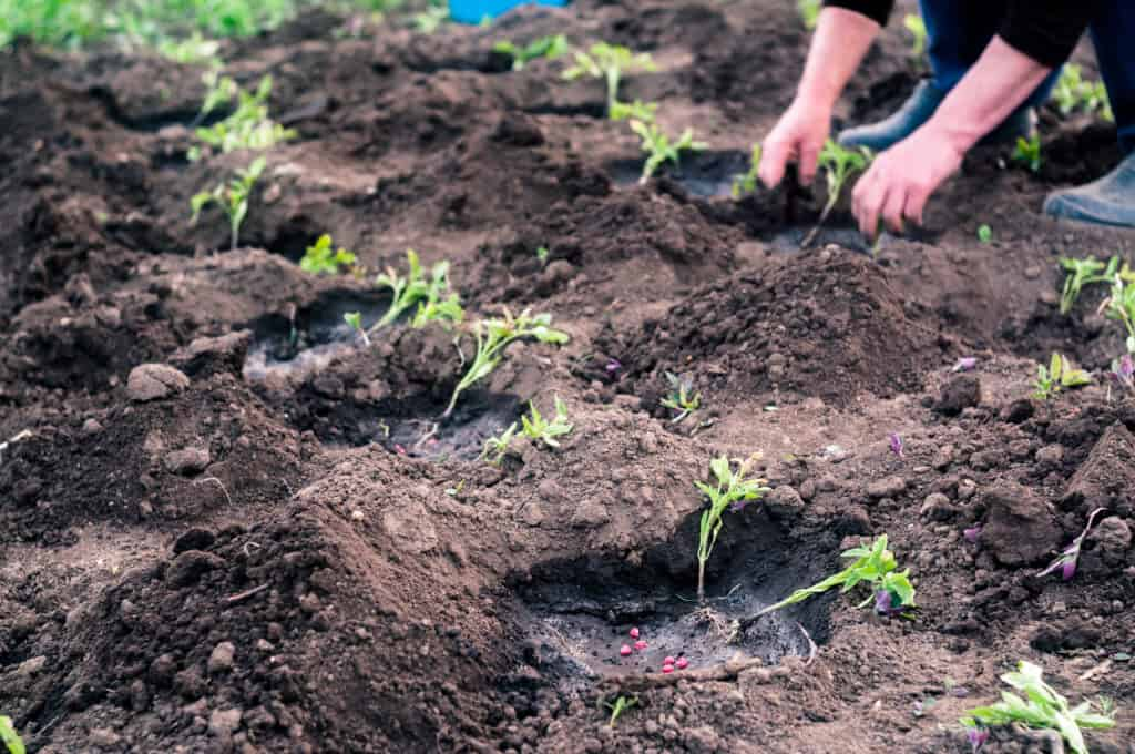Tomato planting in rows