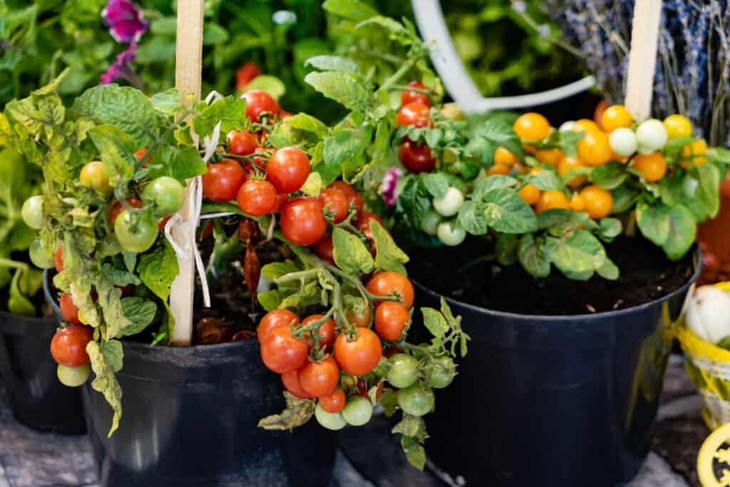 Planting, Growing and Harvesting Tomatoes
