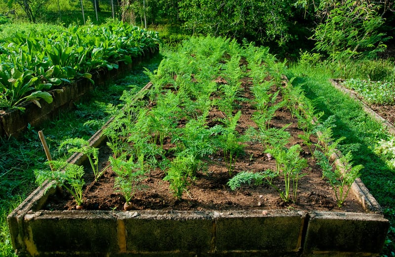 Carrots in planting bed