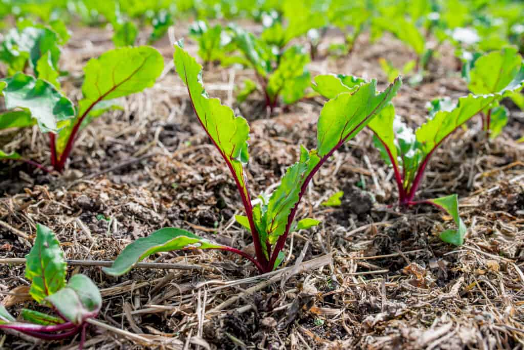 Young beets growing in rows