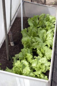 Lettuce growing in a cold frame