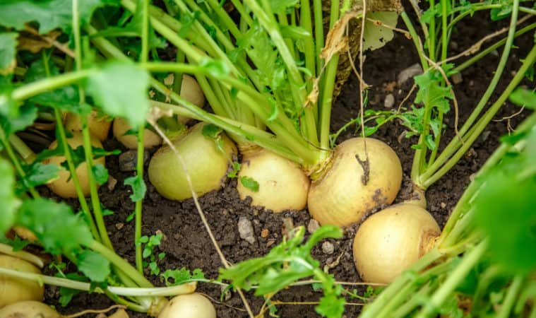 Grow turnips in cool season