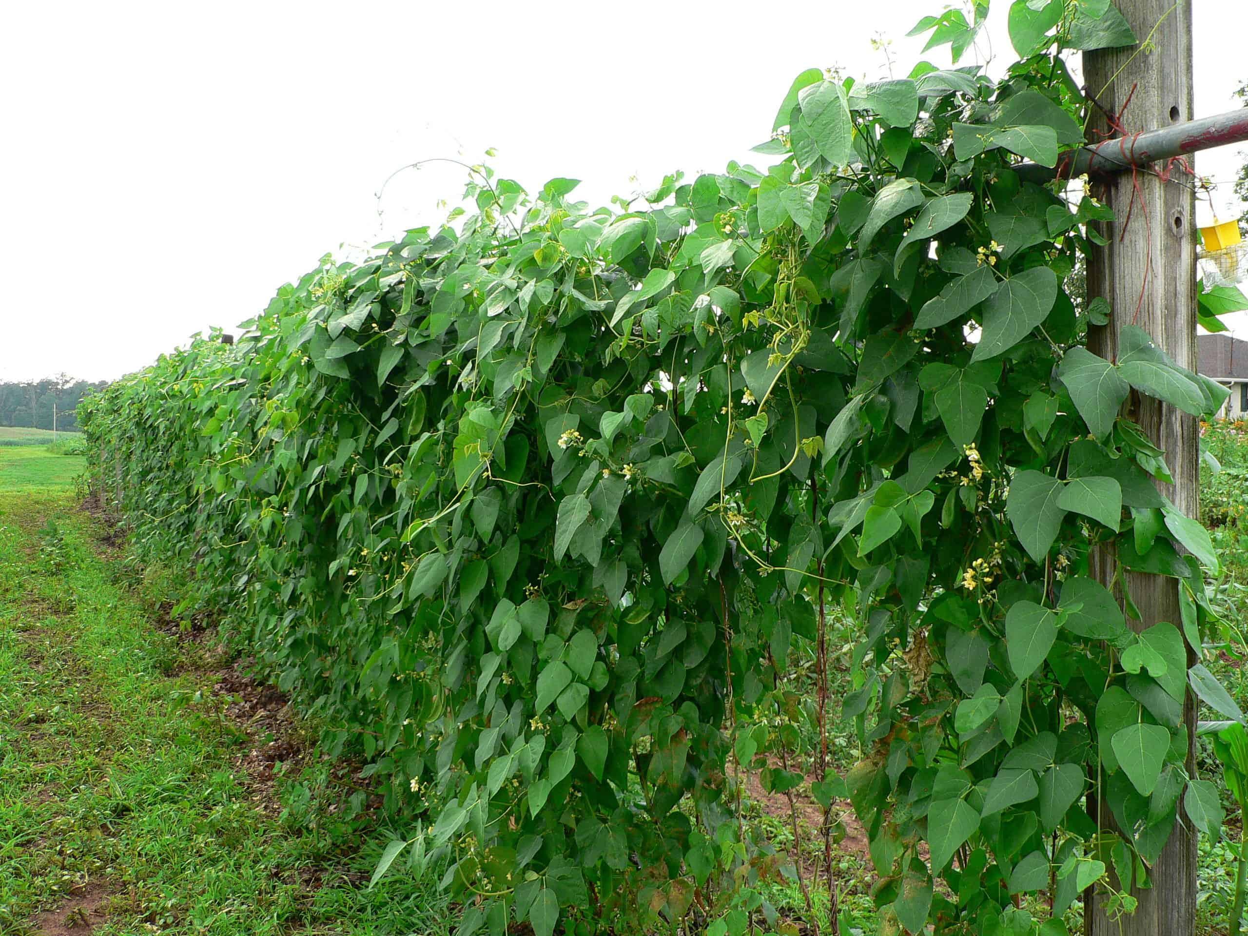 How To Plant Grow And Harvest Lima Beans