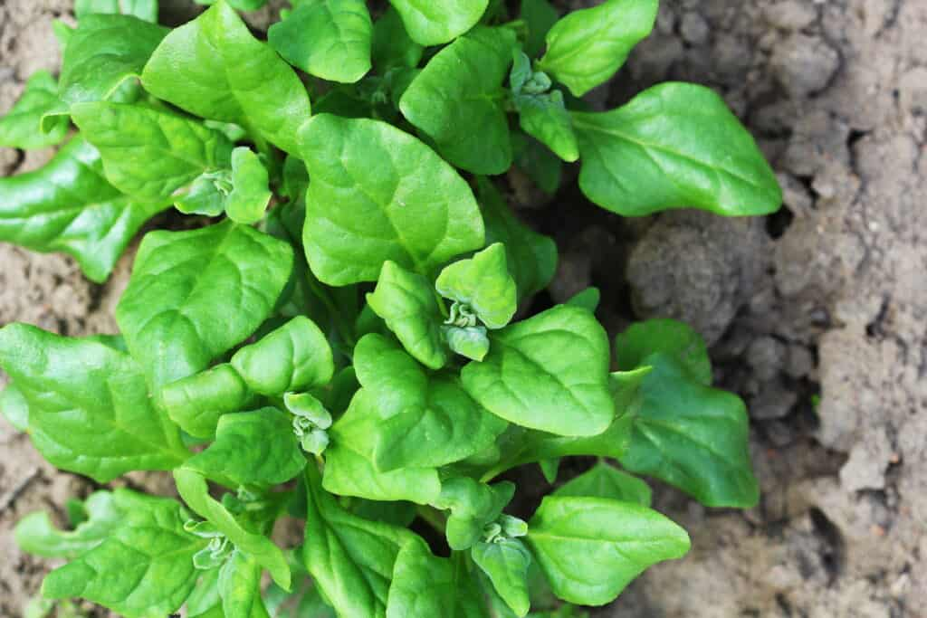 Young New Zealand spinach