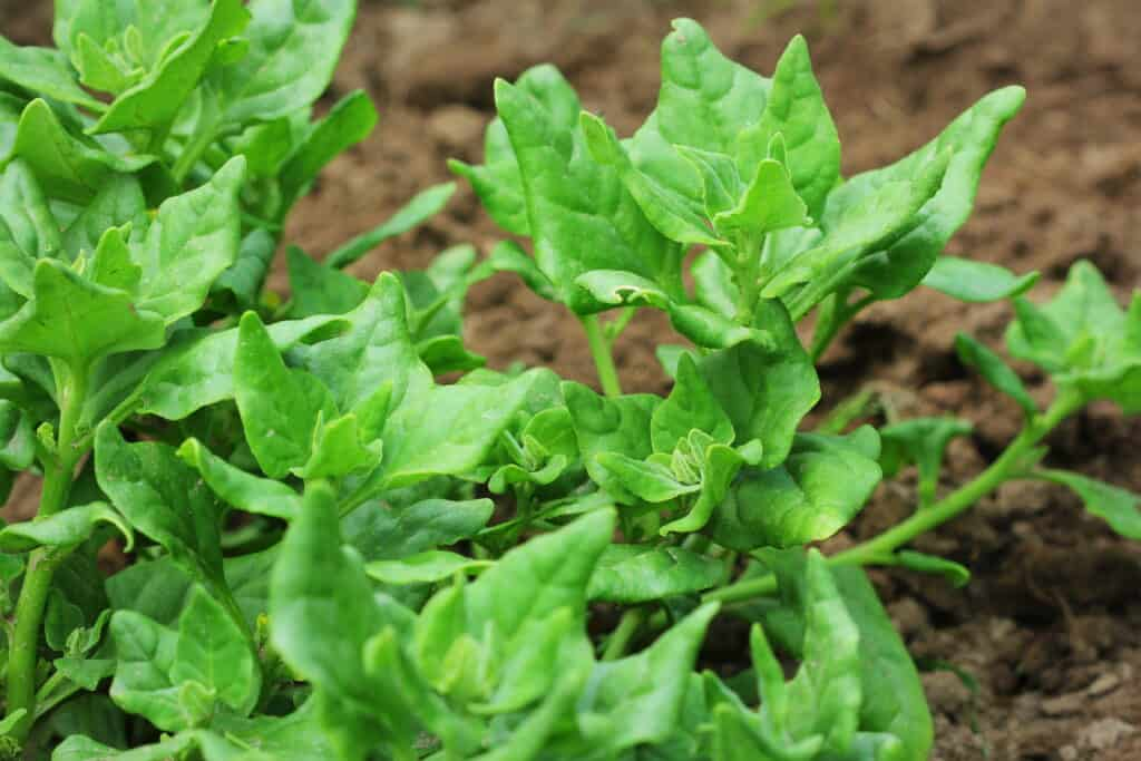 New Zealand spinach plants