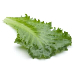 broad leaf endive