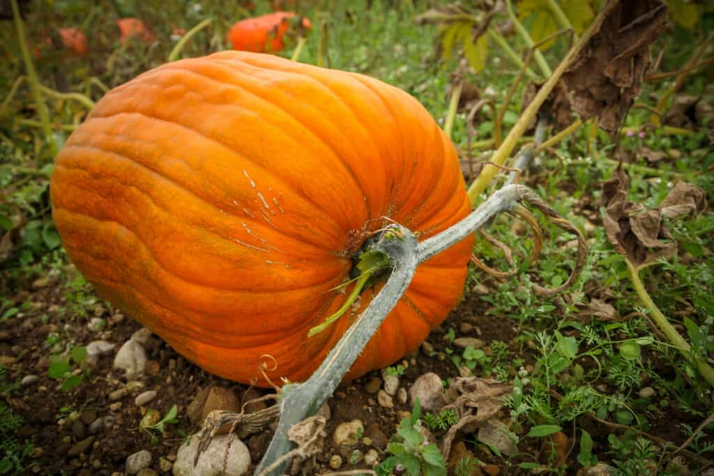 Pumpkin grows near harvest