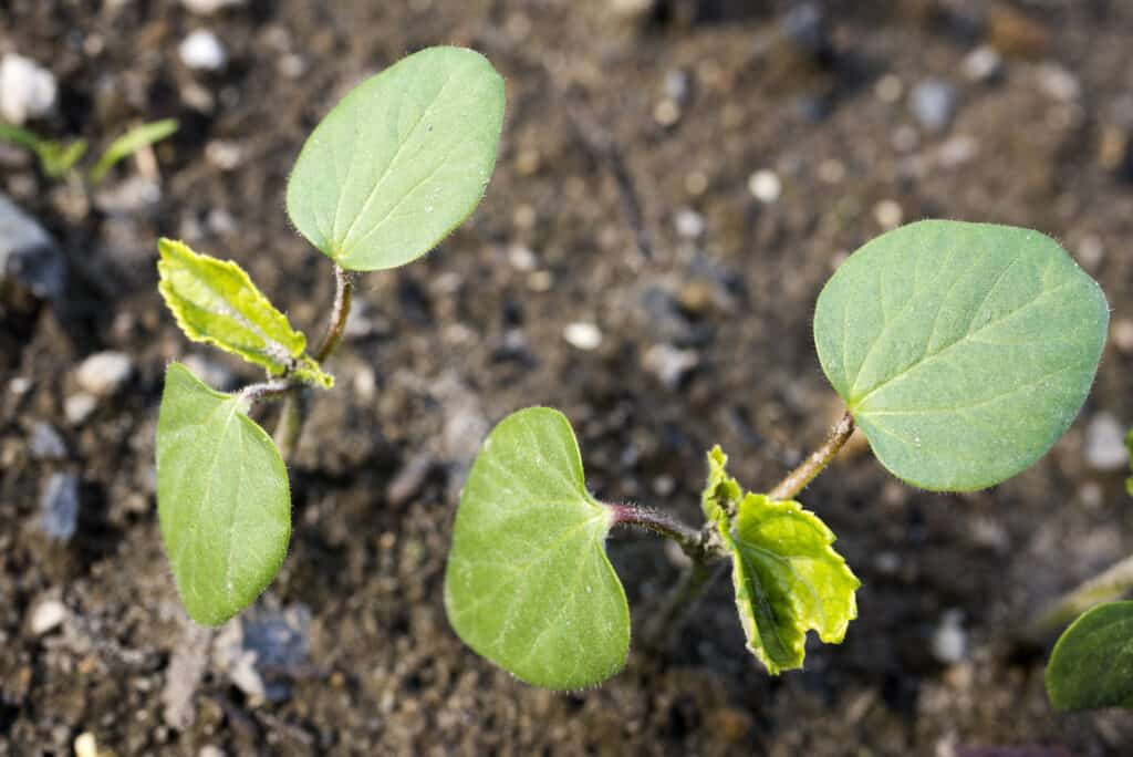 Okra seedlings in garden
