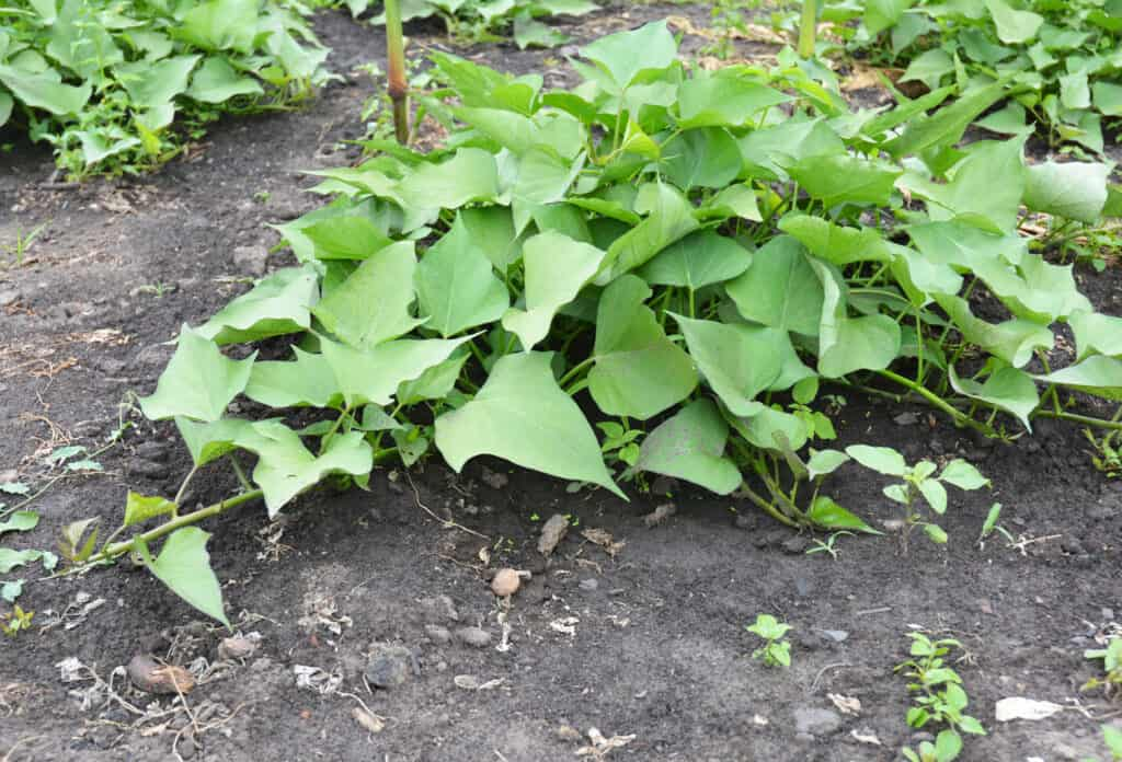 sweet potato plant in garden