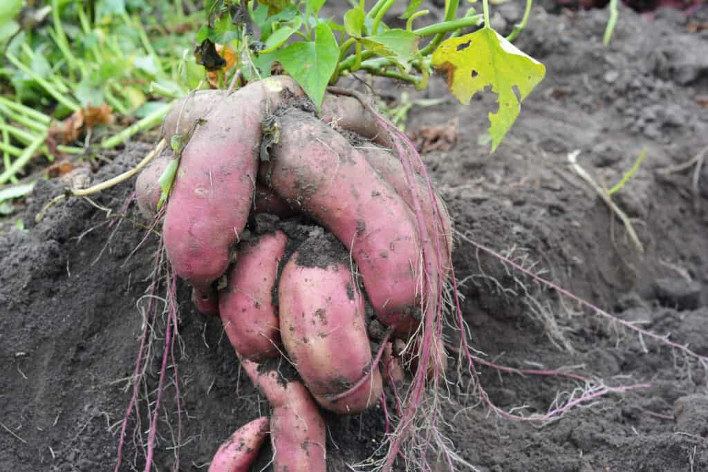 grow sweet potato tubers