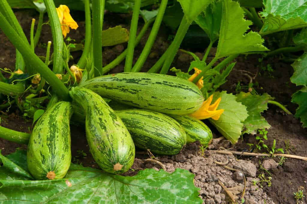 Summer squash growing