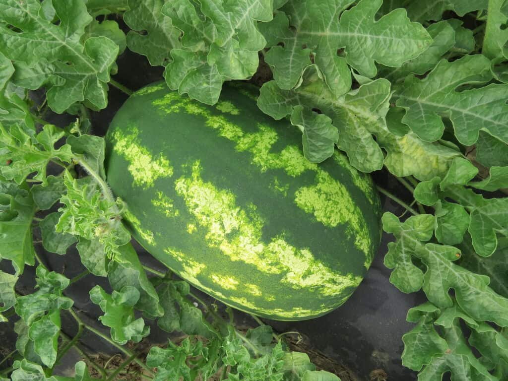 Growing watermelon to harvest