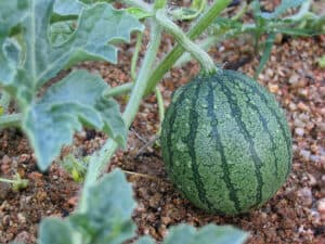 Watermelon growing