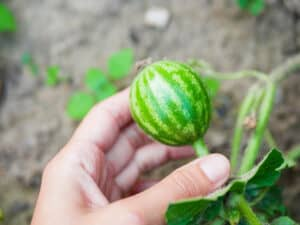 Small watermelon fruit