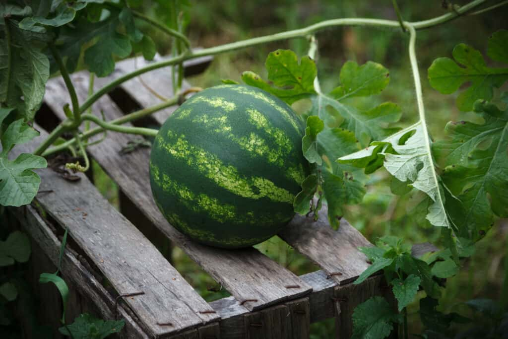 Watermelon on wood to absorb sun