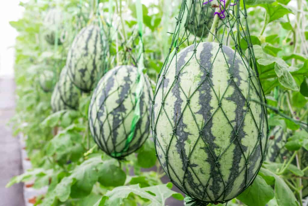 Watermelon growing from trellis