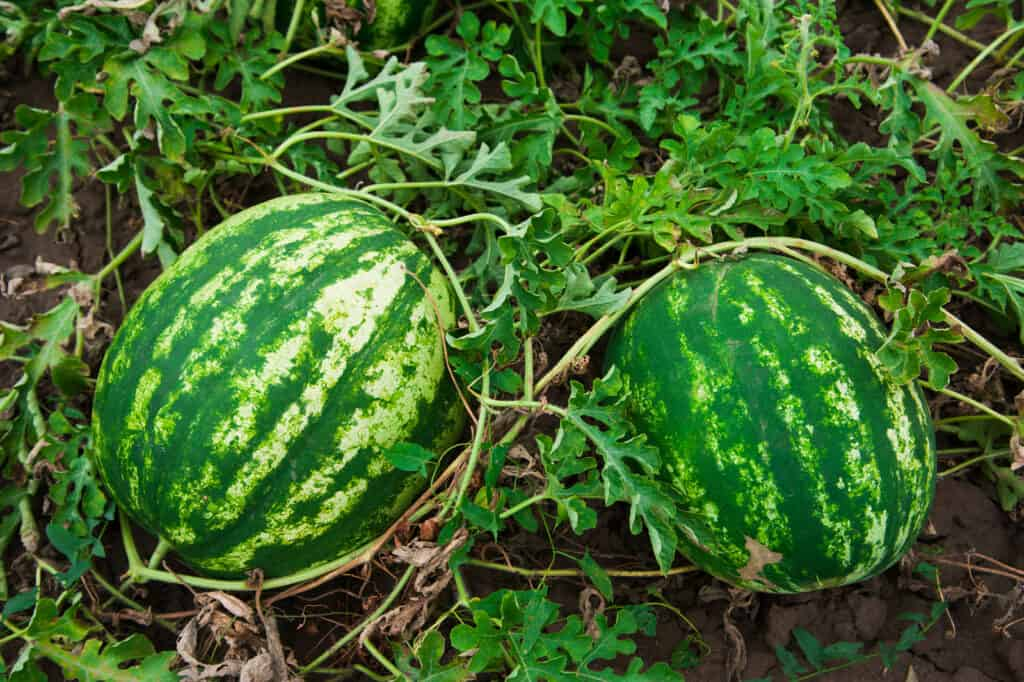 Grow watermelon in garden