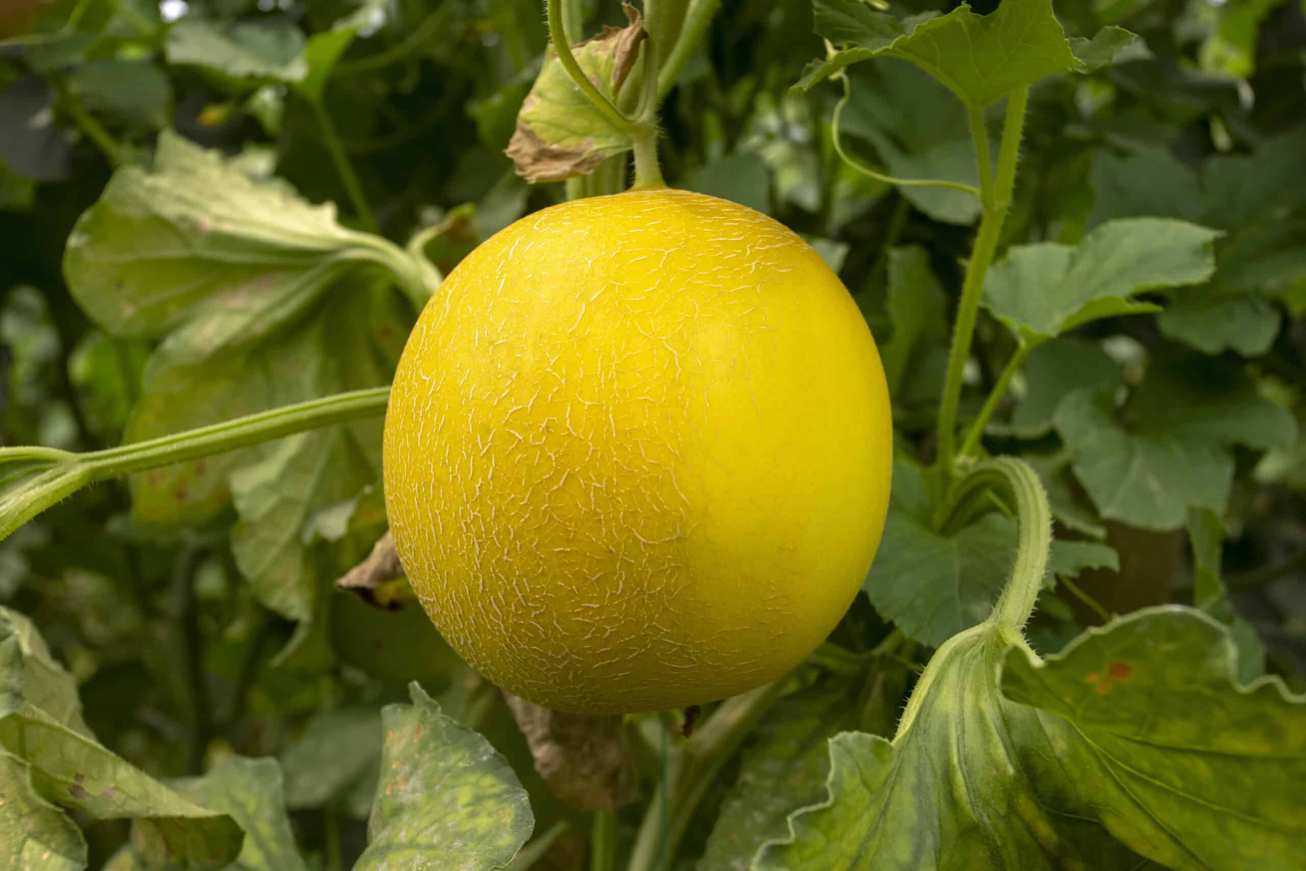 True cantaloupe in garden